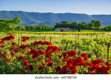 Rural landscape of Provence, France: the vines in the spring, red roses in the foreground.