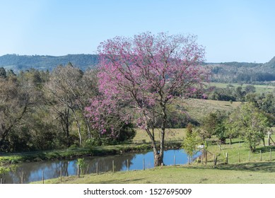 Rural landscape and the purple ipe. South American tree, known for its medicinal use and as hardwood. Its most popular popular names are: piúva, pau-d'arco, piúna, purple ipe