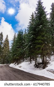 rural landscape snowy road lies through the forest green spruce