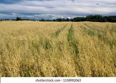 Rural landscape at summer day, terrain with oat fields and cloudy sky