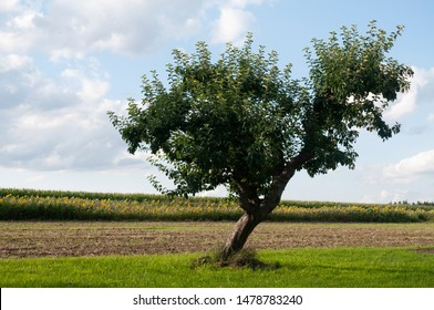 rural landscape in summer with fields and single standing apple tree with lopsided trunk