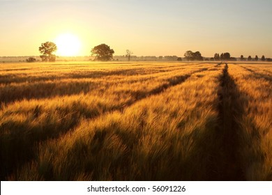 Rural landscape of sunrise over the fields of grain on the first day of summer.