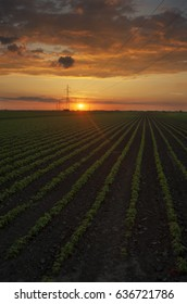 Rural landscape under shining sunlight sunset, rows of soy field