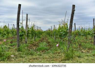 Rural landscape with vineyard.