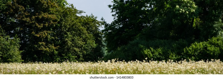 rural landscape white wildflowers and forest on a sunny day.Web banner for your design.
