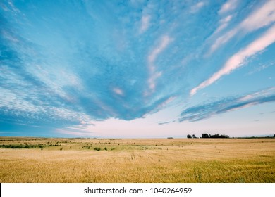 Rural Landscape Of Yellow Wheat Field On Blue Sunny Sky Background July Month.