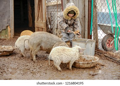 Rural Little boy helps his father to feed swine on farm. pan for cooking porridge, wheelbarrow for transporting food for pigs. Winter weather with rain and snow