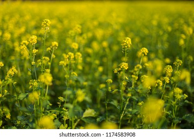 Rural Meadow Covered with Yellow Flowers (Sinapis arvensis). Closeup of a yellow budding and flowering Wild Mustard or Sinapis arvensis plant against a blurred field full of these yellow flowers.