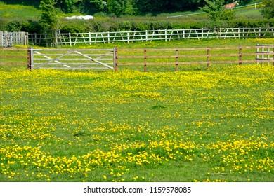 Rural Paddock Full of Buttercups