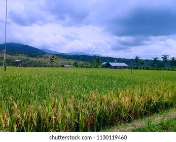 Rural Rice Field Scenery At Banjar Kuwum Ringdikit Village, North Bali