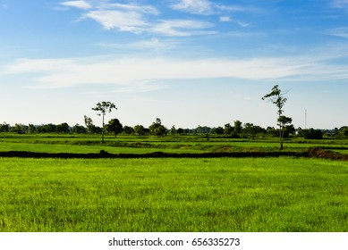 Rural rice field scenery in Thailand