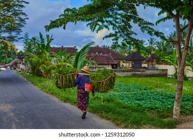 Rural road at balinese village. Farmer carries grass cuttings for the farm animals. After the rice terraces are trimmed of weeds and grasses. Balinese people's life in Bali.
