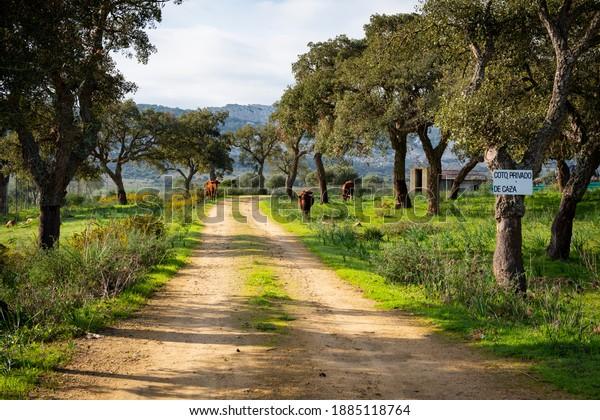 rural-road-between-trees-cows-600w-18851