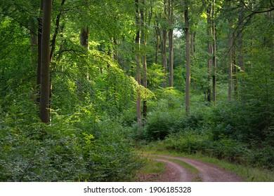 Landstraße (Weg) durch die Hügel des grünen Buchenwaldes. Achtzig Bäume. Naturtunnel. Atmosphärische Sommerlandschaft. Rheinland, Deutschland. Natur, Ökologie, Umweltschutz, Ökotourismus