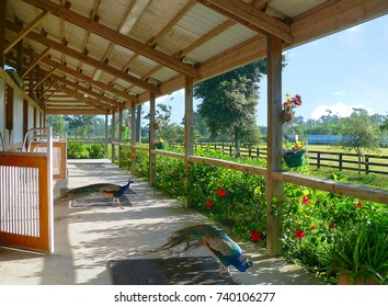 A rural scene at a barn showing the structure of the building with some fences in the distance. A pair of peacocks strolls through the breezeway on a sunny morning