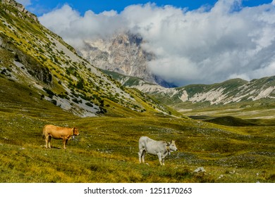 Rural scene on the Gran Sasso massif (Abruzzo, Italy), with cows that go around eating grass
