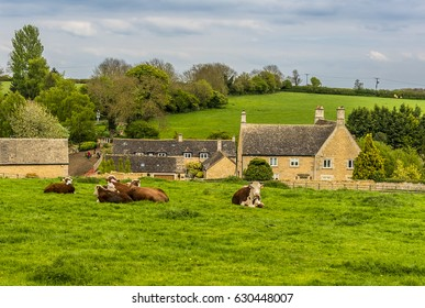 A rural scene in Rutland, UK with cows grazing outside the  small hamlet of Whitwell close to Rutland water