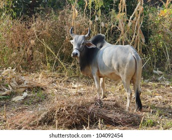 rural scenery with cow in India