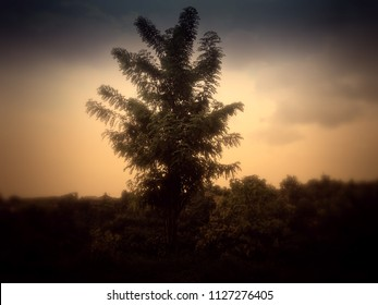 Rural Scenery Gliricidia Sepium Plant Tree in the Plant Field