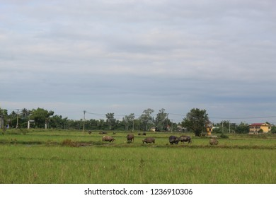 The rural side of Hue City, Vietnam captures the nature and animals, showing the effortless beauty Vietnam holds