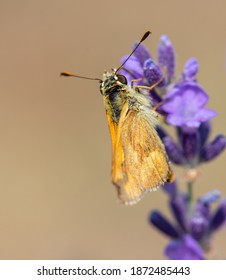 Rural Skipper Butterfly (Ochlodes agricola) visiting Lavender, Top View, detail of Head and Back