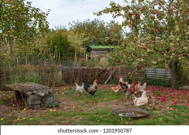 Rural small holding of a flock of chickens seen in a make shift sectioned area in an apple orchard. Fallen apples can be seen of which the chickens eat during the autumn months.