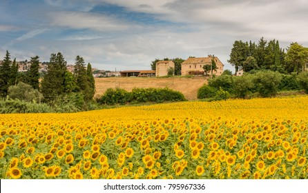 rural summer landscape with sunflower fields and olive fields near Porto Recanati in the Marche region, Italy