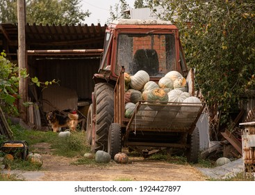 A rural tractor loaded with pumpkins. Autumn harvest of vegetables. Image with selective focus and noise effect, toning