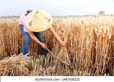 A rural woman in a wheat field is harvesting wheat with a sickle