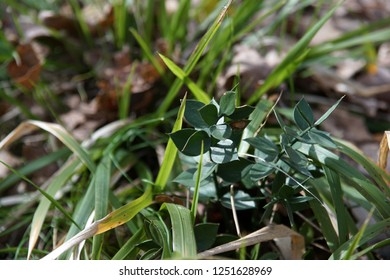 Ruscus aculeatus, barbed plant, grass on the field, background