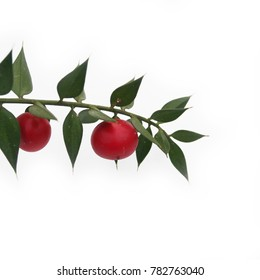 Ruscus aculeatus, known as butcher's-broom. Branch with red berries and green leaves on white background