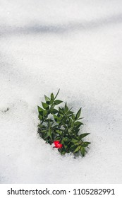 Ruscus aculeatus, known as butcher's-broom, is a low evergreen Eurasian shrub, with shoots known as cladodes that give the appearance of stiff, spine-tipped leaves. Specimen with red berry in snow.