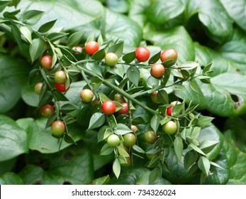 Ruscus aculeatus, known as butcher's-broom,  is a low evergreen Eurasian shrub. Asparagaceae family.