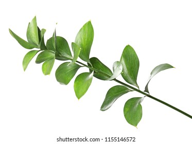 Ruscus branch with fresh green leaves on white background