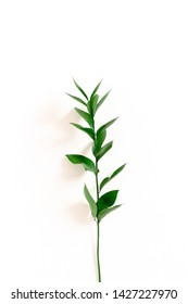 Ruscus branch on white background
