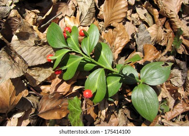Ruscus hypoglossum, small evergreen shrub. Common names include mouse thorn, spineless butcher's broom and horse tongue lily.