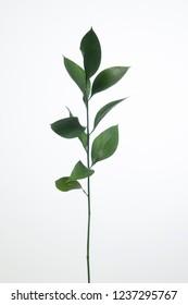 Ruscus hypophyllum Israel