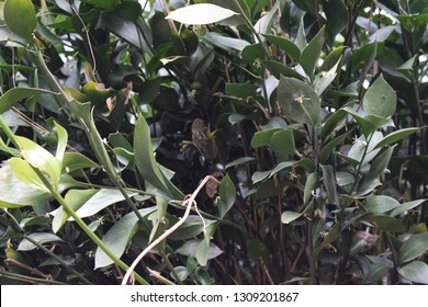 Ruscus hypophyllum plant
