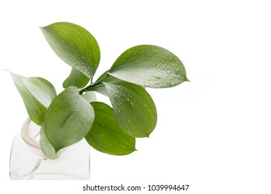 Ruscus hypophyllum, Spineless Butcher's Broom, florists foliage plant, isolated on white