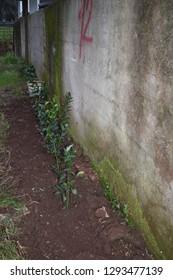 Ruscus hypophyllum young plants