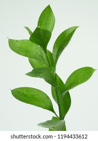 the ruscus leaves