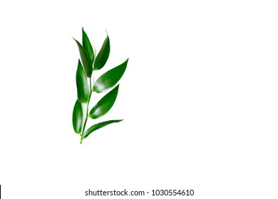Ruscus leaves isolated. Green leaves of a plant on a white background.
