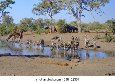 RUSH HOUR . Mixed game quenching their thirst at a drying waterhole during a drought in Kruger National Park, South Africa