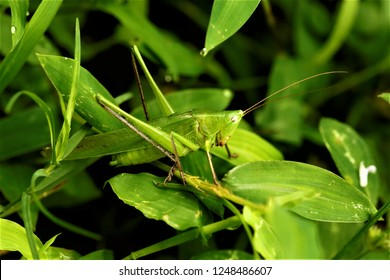 Ruspolia lineosa, a katydid found in China.