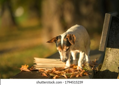 Russell Terrier dog reading a book on a bench. Dog is 13 years old.