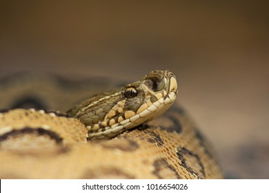 Russell's Viper close-up