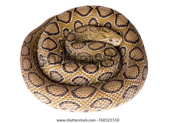 Russell's viper, Daboia russelii