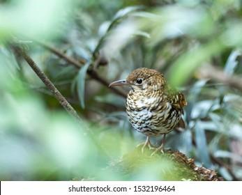 "Russet-tailed Thrush (Zoothera heinei) subspecies ""heinei"". Taken at Mount Clunie National Park, New South Wales, Australia"