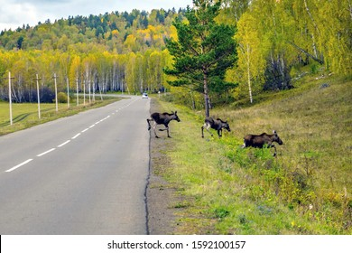 Russia, Bashkortostan, September 2019: travels in the Urals. A family of moose crossed the road.