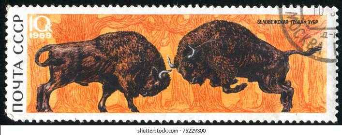 RUSSIA - CIRCA 1969: stamp printed by Russia, shows Fighting bison, circa 1969.